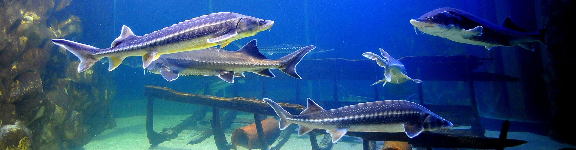 jeseterovite-ryby