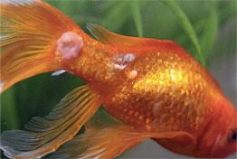 Saprolegnióza – zaplísnění kůže postižené ryby